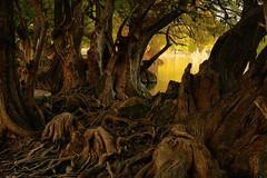 SURREAL (NIKONIANO) Tags: trees water agua nikon lakes surreal arbres pound zamora amaneceres árboles nikoniano sergioalfaroromero mexicanlakes lagosdeméxico camécuaro tangancícuaro camécuaromichoacán árbolesdeagua caminosdemichoacán enmichoacán losárboles paisajesurreal