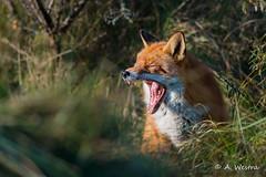 Fox (a3aanw) Tags: