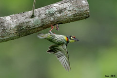 I got to go! (Ken Goh thanks for 1,800,000+ views) Tags: wild people tree green nature pose high hole pentax action no background ngc flight sigma clean npc avian creamy nesting fps coppersmith k3 pecking barbet 500f45