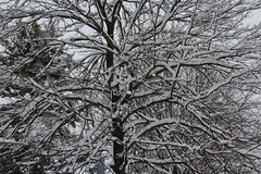 LET IT SNOW, SNOW, SNOW! (outdoorpict) Tags: winter sky snow storm tree grey branch covered trunk leafless