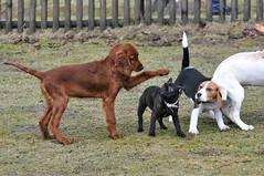 Unterordnung wird schon in der Welpenschule gebt (Ludger Seegers) Tags: irish setter welpen hundeschule