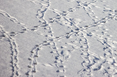 Duckprints (Pauline Brock) Tags: winter snow nature matrix river footprints ducks duckfeet frozenriver flickrfriday duckfootprints