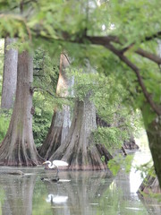 Reel Foot Lake in Missouri (belleraiser) Tags: reflection bayou missouri cypresstrees whiteheron reelfootlake