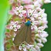 Virginia Ctenucha Moth on Common Milkweed