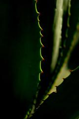 Aloes (David Parody) Tags: david m parody 2014