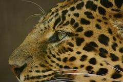 Leopard (Lawrence Harman) Tags: eye fur nose zoo whiskers spots leopard tenerife junglepark captureone canon600d september2014