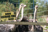 Ostrisch at Dartmoor Zoological Park. Taken on 15-08-2010 - 10_10_35.jpg (atthezoouk) Tags: camera england birds devon zoos sparkwell cameralens animalphotos canoneos350ddigital dartmoorzoo biaza ostrisch sigma1801250mm