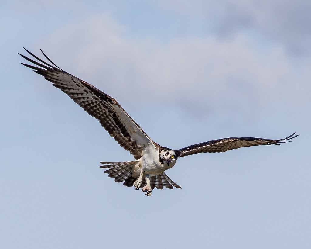 The world 39 s best photos of andymorffew and osprey flickr for Osprey catching fish