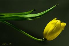 tulip (aniribe) Tags: flowers stilllife flower color yellow nikon tulip