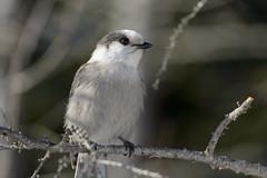 Gray Jay_43724.jpg (Mully410 * Images) Tags: winter snow cold tree bird birds branch jay birding lichen bog birdwatching birder grayjay saxzimbog