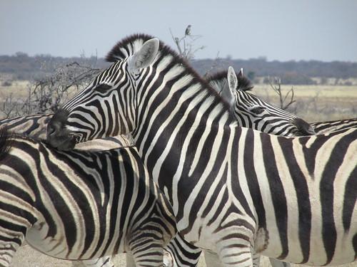 Zèbres, Etosha, Namibie