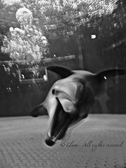 Na (Clerss Malisha) Tags: baby cute animal animals aquarium play dolphin nursery dolphins mamma dauphin acquario animali animale captivity interaction cucciolo gioco delfino dauphins cetaceo interactions tierno delfini cetaceans cetacean figlio bottlenosedolphin tursiopstruncatus cetaceos figlia interazione tenero dalmazia cattivit acquariodigenova cetacei tursiope delfinodalnasoabottiglia cetaceanspavillion