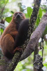 Red bellied lemur with odd blue eye and brown eye combo. Not normal for this species.