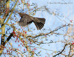 Berries from Heaven (GemElle Photography so busy just now sorry) Tags: red black bird female nikon berries bluesky blackbird gemelle d610 gemelle1 gemellephotography