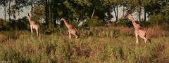 giraffes (paologmb) Tags: africa leica wild nature animals freedom bush safari explore giraffe nationalgeographic hyaena paologamba