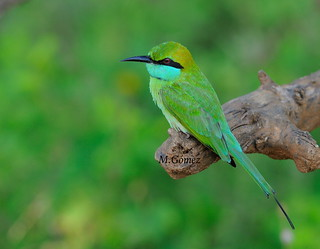 little green bee eater, pequeño abejaruco verde
