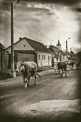 Cows returning from grazing (Ana Todor) Tags: life evening cow village return herd grazing