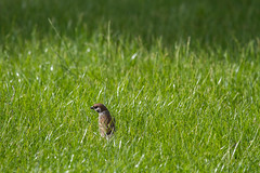 Tall grass (Frank Schmidt) Tags: trees sun birds animals canon out denmark photography eos photo colorful day foto outdoor watching picture have l danmark dyr maj 2016 fulg farver fulge eos7d