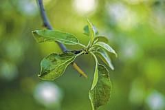 The leaves of the Apple tree (arthur_streltsov) Tags: vintage 50mm spring sony manualfocus czj vintagelens carlzeissjena manuallens pancolar sonyalpha germanlens vintageprime sonya290 mcpancolar50 arthurstreltsov