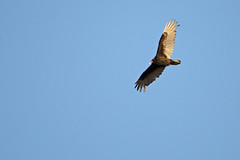 Turkey Vulture - Urubu  tte rouge - Cathartes aura (DSC_5523-1F-20160503) (Michel Sansfacon) Tags: turkeyvulture faune cathartesaura urubutterouge parcsqubec parcnationaldeslesdeboucherville nikond7000 sigma150600mmf563dgoshsmsports