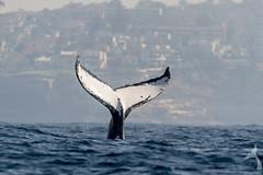 Humpback tail. (Trevor Scouten) Tags: trevor sydney australia whale humpback scouten