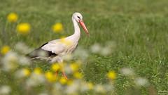 White Stork (wimzilver) Tags: canon vogel whitestork ooievaar wimzilver canoneos7d wimboon canonef300mmf4lisusm14x