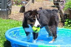Echo's personal spa (sturner404) Tags: dog sun water pool ball puppy fun play echo aussie australianshepherd