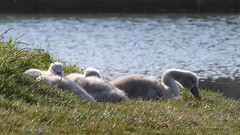 Cygnets - Widewater (14) (Malcolm Bull) Tags: swan cygnet lagoon mute include widewater 20160524widewater0014edited1web