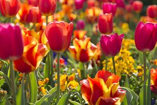 More Colorful Tulips [Explore]