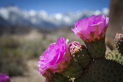 Desert Glory & Mountain Majesty: Pink Cactus Blooms & Mt. Whitney in Alabama Hills (Life_After_Death - Shannon Renshaw) Tags: california road pink flowers blue cactus sky mountain mountains flower detail macro nature floral rock stone pine forest canon garden movie landscape botanical outdoors eos petals succulent rocks soft arch mt desert natural blossom bokeh gardening outdoor nevada alabama sierra petal hills shannon national whitney mojave granite bloom lone wildflowers archway mtwhitney dslr delicate mountwhitney botany wildflower canondslr canoneos heavenly intricate alabamahills inyo lifeafterdeath 50d shannonday canoneos50d eosdslr canoneos50ddslr lifeafterdeathstudios lifeafterdeathphotography shannondayphotography shannondaylifeafterdeath lifeafterdeathstudiosartandphotography shannondayartandphotography