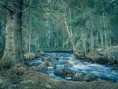 Pihlajakankaantie's rapid and old spruce (LuonnonKuvaaja) Tags: old nature water creek forest finland river evening spring rocks may spruce rapid raahe pattijoki ylip lasikangas pihlajakankaantie
