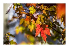 The Colours of Autumn (red stilletto) Tags: autumn red orange green yellow bokeh autumnleaves autumnleaf