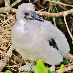 Nazca Booby Chick  (Sula granti) (Susan Roehl Thanks for 5.1 M Views) Tags: bird southamerica mammal island ecuador nest ngc chick mostlywhite nazcabooby sulagranti genovesaisland photographictours pentaxk7 galapagos2013 naturalexposures sueroehl