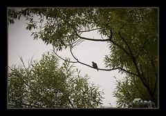 Mourning Dove (the_coprolite) Tags: canada nikon bc britishcolumbia sigma d750 coquitlam mourningdove portcoquitlam 120400mm colonyfarrm