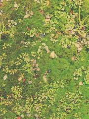 Moss - Galaxy S7 (Jonno Cass) Tags: plants green wet rain garden moss flickr phone samsung australia galaxy s7 gully ferntree fliter