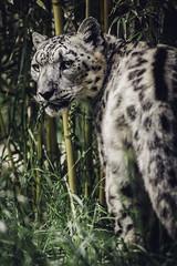 A Look Back (Paul E.M.) Tags: snow mountains asian feline leopard shan reclusive ounce panthera sdzoo barys zigsa ilbirs