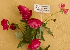 Cracker Rose