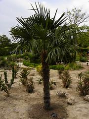 Chinese windmill palm (tachycarpus fortunei) in Balchik botanical garden, Bulgaria (cod_gabriel) Tags: bulgaria botanicalgarden balchik dobrudja balcic dobrogea cadrilater windmillpalm grdinabotanic chusanpalm dobruja chinesewindmillpalm balchikbotanicalgarden grdinbotanic gradinabotanicabalcic tachycarpusfortunei