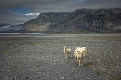 "(Isat"") Tags: iceland islande nature neige nuage montagne mountain moutons annimaux glacier"