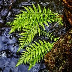 """Dryopteris filix-mas"" (Vest der ute) Tags: water norway rock rogaland haugesund fav25 550d ormegress djupadalen"