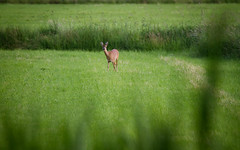 Roe Deer - HSK_0947 (Hasan Karaglmez) Tags: netherlands forest canon contemporary sigma 7d roedeer ree capreoluscapreolus hasankaragulmez 150600mm hasankaraglmez