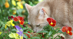 Not sure why the neighbors don't love Jimmy #732 (Kerri Lee Smith) Tags: flowers summer cats garden poppies tabbies felines peeing orangecats catpee buffcats