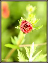 _JVA6780 (mrjean.eu) Tags: park pink flowers blue red roses white france flower macro green nature fleur rose yellow fleurs nikon botanic lorraine botanique parc metz communal 105mmf28