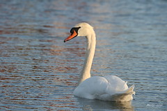 IMG_0190 - Swan - Zwaan (Monique van Gompel) Tags: swan swans zwaan zwanen watervogel