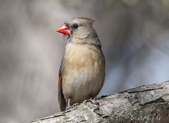 Female Cardinal  24 (Diane G. Zooms---Mostly Off) Tags: femalecardinal northernfemalecardinal redbirds birds wildbirds naturephotography dianegiurcophotography cardinalphotos specanimal fantasticnature ngc