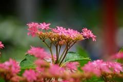 紫陽花/Hydrangea macrophylla (nobuflickr) Tags: nature japan kyoto frower 宇治市 三室戸寺 awesomeblossoms あじさい園 kyotoprefmimurotojitemple 20160612dsc02977