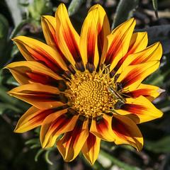 Flor e Inseto (pmenge) Tags: flor 85mm sigma inseto 7dii