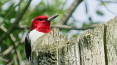 Red-headed woodpecker (fishhawk) Tags: redheadedwoodpecker melanerpeserythocephalus wolflandroad lewisburgpa droh