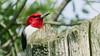 Red-headed woodpecker (fishhawk) Tags: redheadedwoodpecker melanerpeserythocephalus wolflandroad lewisburgpa droh
