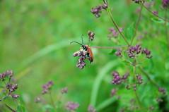 Good morning! (Bastian S. Photography) Tags: macro bug germany nikon nikkor makro garten 1870mm oregano kfer feuerkfer d5000